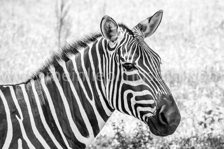 Alu Dibond Zebra Acryl Zebra Leinwand